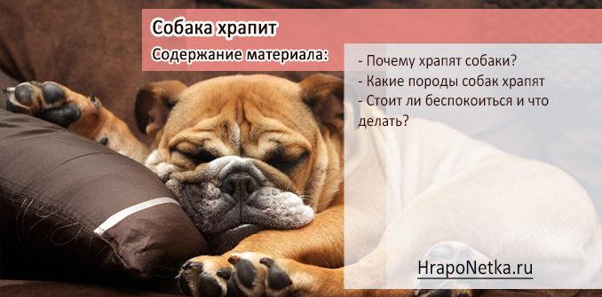 Собака храпит: почему, какие породы храпят, что делать?